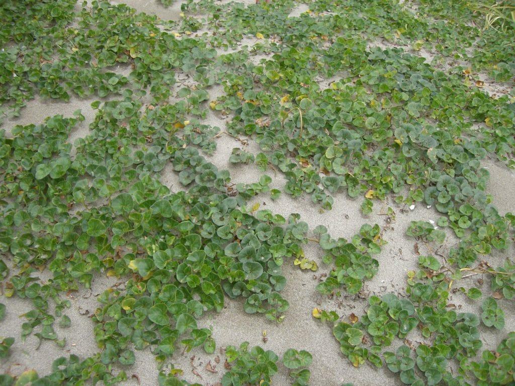 ハマヒルガオ(海浜植物)